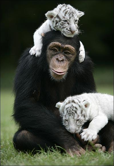 chimpanzé tigre siberiano
