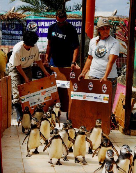 pinguins correndo