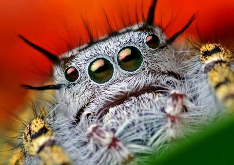 aranha saltadeira