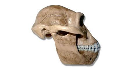 australopitecus-g