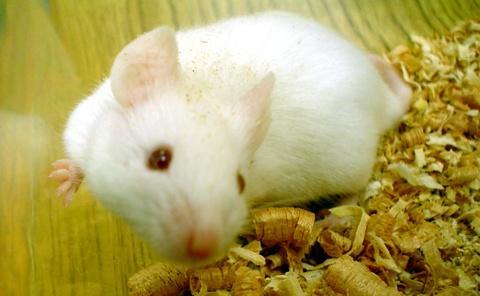 rato-laboratorio-grande