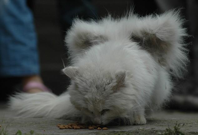 gato com asas