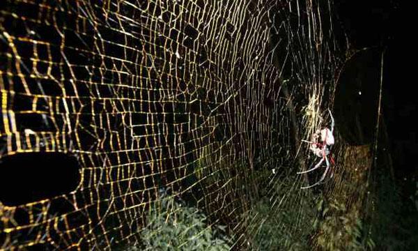 Nephila Komaci Descoberta aranha giga...