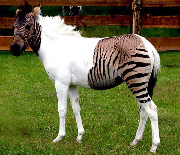 zebrao zebra misturado com cavalo