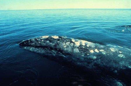 gray_whale