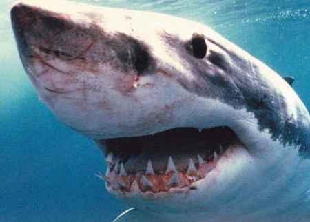 10 Razões Pelas Quais Os Tubarões Brancos São Incríveis