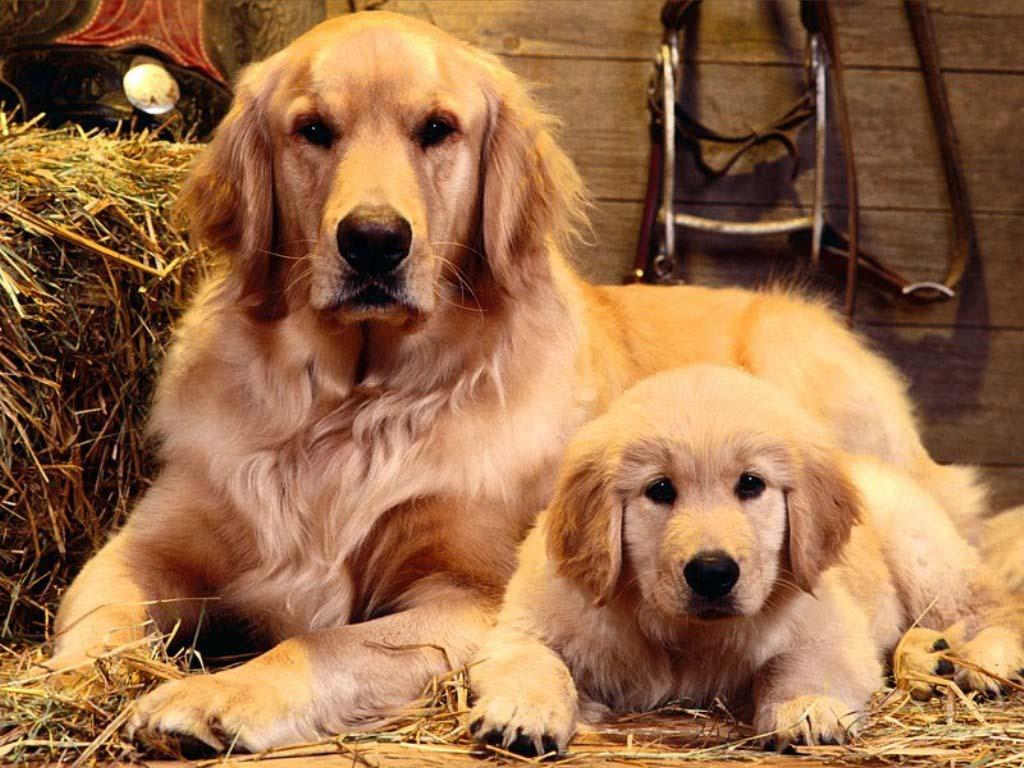 As 10 raças de cães mais populares