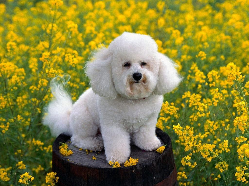 Bichon Frise Puppy Dog Backgrounds