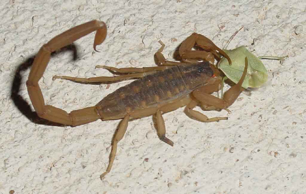 sonhar com escorpião um