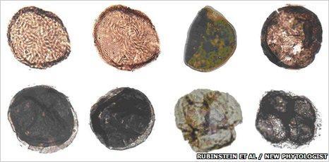 fossilplanta