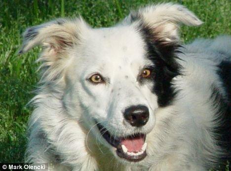 Conheça Chaser O Cachorro Mais Inteligente Do Mundo