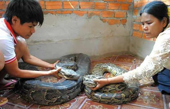cobras se casam no camboja