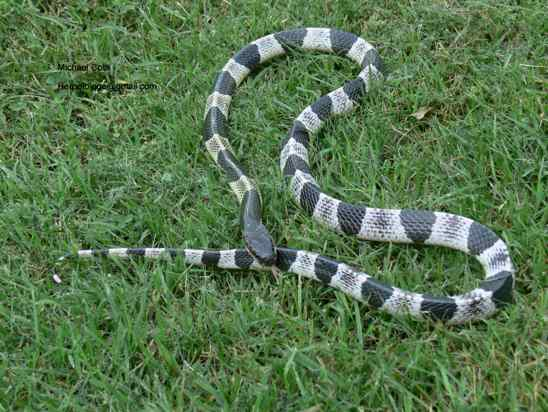 Cobras venenosas: Veja...