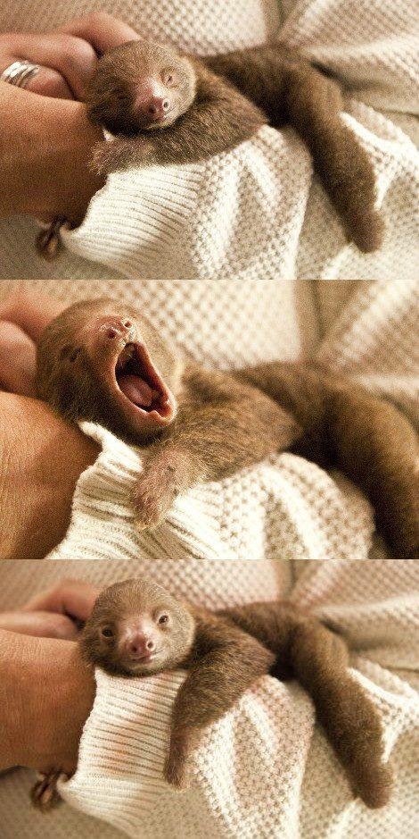 filhote preguica