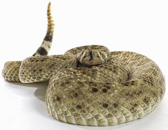 cobras fatos