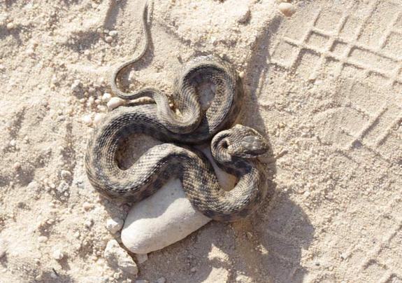 cobras sem veneno