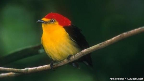 _58795177_wire-tailed_manakin_1