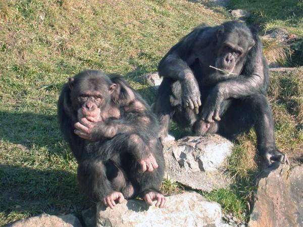 chimpanzee-police