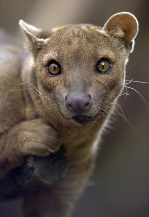 fossa Animais estranhos de Madagascar
