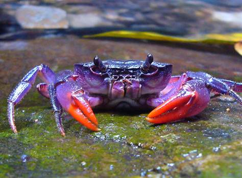 120424_tch_purple_crab.grid-6x2