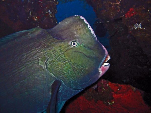 green-humphead-parrotfish