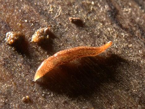 UK's first 50-EYED FLATWORM