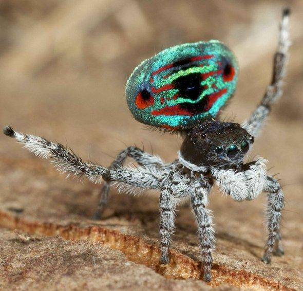 the-darlingtons-peacock-jumping-spider-gets-the-peacock-in-their-name-from-their-iridescent-plates-on-their-backs