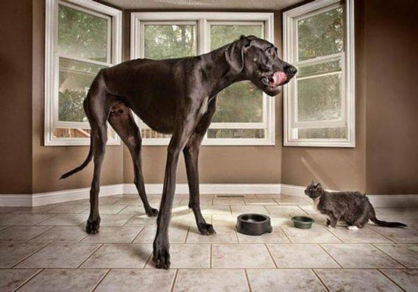 The-worlds-tallest-dog-Zeus