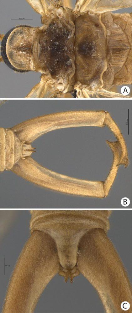 """A imagem do meio mostra em close a estrutura conhecida como """"fórceps"""""""