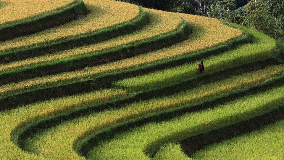 el nino efeitos asia arroz