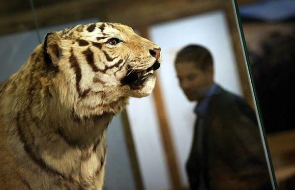 Tigres fazem parte do grupo de animais em perigo de extinção