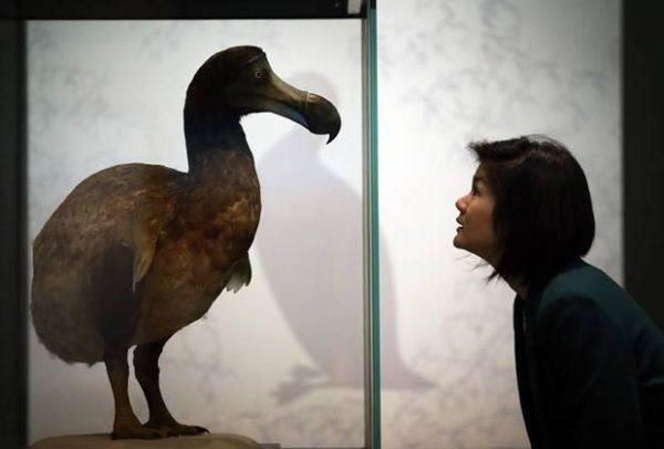 O dodô (Raphus cucullatus) é uma ave não voadora extinta endêmica das Ilhas Maurícias