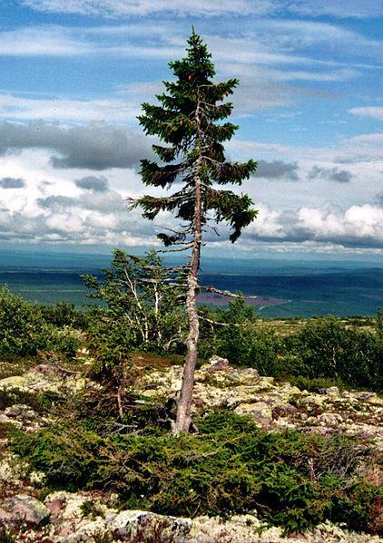 Ser vivo único mais velho do planeta é um pinheiro da Suécia