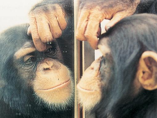 chimp-mirror test self recognition sentient sentience intelligence intelligent animals sapient-
