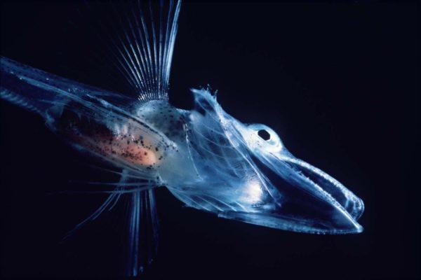 Isfisklarve