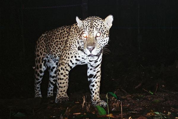 0516.WWF.sandiego.Jaguar-2.600
