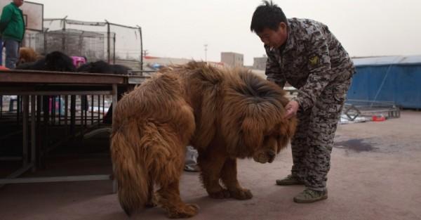 10mar2013---caes-da-raca-mastim-tibetano-sao-expostos-para-venda-em-baoding-na-provincia-chinesa-de-hebei-ao-s(13)