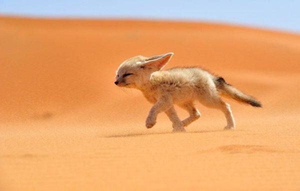 """""""Um feneco anda contra o vento em Marrocos. O feneco, ou raposa do deserto, é uma pequena raposa noturna encontrada no deserto do Saara no norte da África"""" - Francisco Mingorance"""