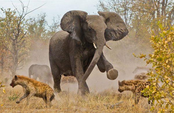 """""""Um grupo de 12-14 hienas estavam perseguindo um rebanho de 7-8 elefantes. A manada de elefantes incluía duas fêmeas adultas, alguns adolescentes, e um bebê que estava com poucos dias de idade (pertencente a uma das fêmeas adultas). As hienas estavam tentando chegar ao bebê. Nesta imagem, a mãe está chutando as hienas"""" - Jayesh Mehta"""