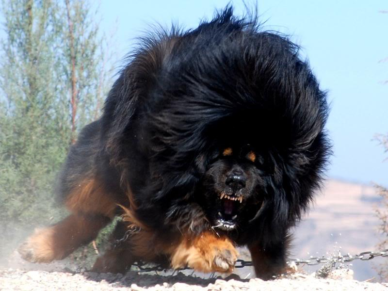 Edifício Central Biggest-Tibetan-Mastiff-5