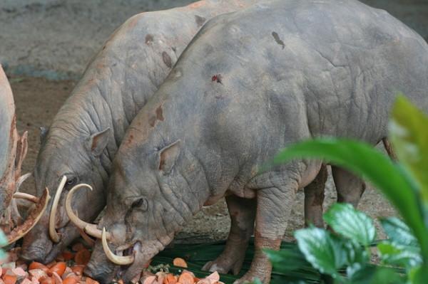 fotos de animais dentes bizarros
