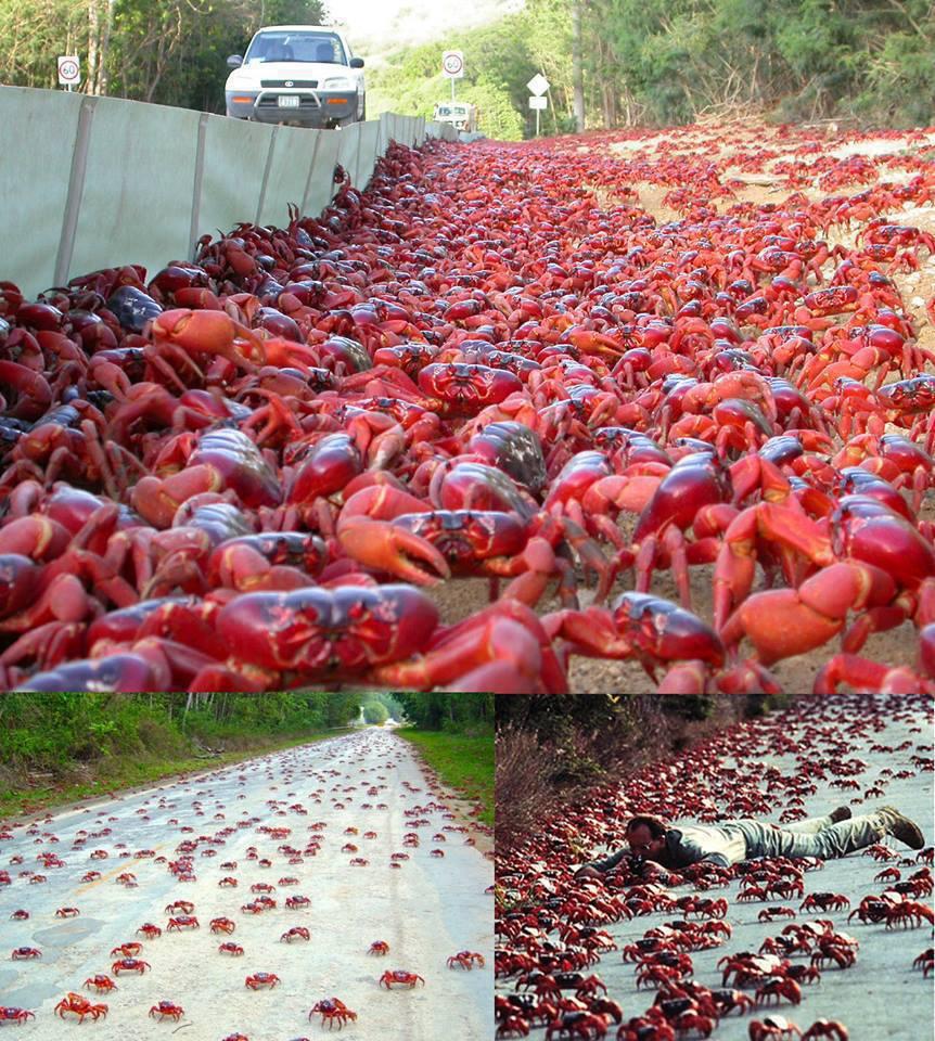 A impressionante migração de caranguejos da Austrália
