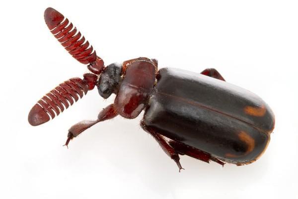 Besouro bombardeiro (Cerapterus dilacera)