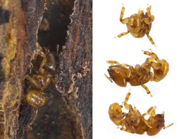 Nova formiga (Melissotarsus emeryi) descoberta, incapaz de andar em superfícies planas. Esta espécie vive dentro da passagem estreita no fundo da madeira de árvores e só pode mover-se empurrando suas pernas curtas abaixo e acima do corpo ao mesmo tempo