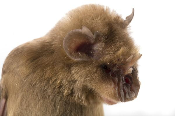 Morcego Chewbacca (Triaenops persicus)