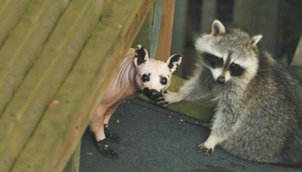 hairless-raccoon-1