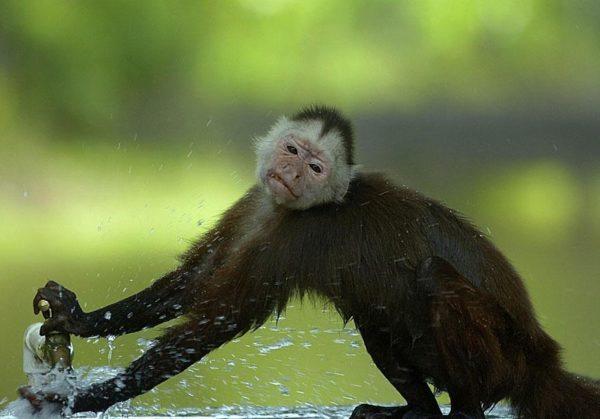 """O macaco-prego é um verdadeiro """"demônio"""" no parque Hacienda Napoles. Come lixo, abre torneiras e rouba comida dos visitantes (Foto: Guillermo Ossa)"""