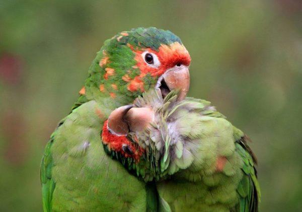 Dois periquitos-de-cabeça-vermelha posando para a câmera. Vistos perto de Cuzco, no Peru (Foto: Dirk Kanz)
