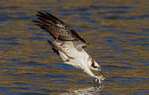 Tirei esta fotografia perto do vertedouro de uma barragem em um lago da Jordânia logo após a águia-pescadora voltar para a minha área na temporada de 2013. No início da primavera, você pode encontrá-las pescando na barragem. Eu amo fotografar vida selvagem, mas qualquer tipo de ave rapina tem um lugar especial no meu coração (Foto: Brad Lenear)