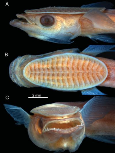 remora-fish